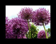 Allium...