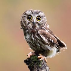 A saw-whet owl