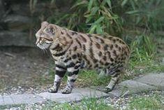 El gato patinegro (Felis nigripes) es un felino de tamaño pequeño. Es solitario y no se habitúa bien a condiciones de cautividad. Emite unos rugidos roncos similares a los de león, pero de menor potencia. Este rasgo es común en los felinos que viven en parajes de grandes espacios descubiertos, como el gato de las arenas, el manul, el león y en menor medida el gato salvaje africano, y que precisan hacer llegar su grito lo más lejos posible. Se ha experimentado con híbridos entre el gato…