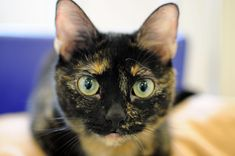 Jade at the ASPCA Adoption Center. What a beautiful tortie cat!