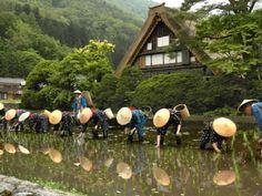 (The rainy season) :  世界遺産の合掌造り集落で知られる岐阜県白川村(shirakawa-mura)荻町で田植え祭り(Rice-transplanting Festival)があった。昔ながらの田植え風景が繰り広げられた。村民が互いに助け合う「結(ゆい)」の精神を伝承しようと、白川郷(shirakawa-go)観光協会が始め、ことしで20回目という。