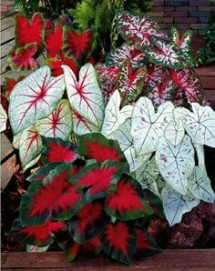 Learn how to grow and care for caladium plants easily. Caladium varieties and types. #houseplants #caladium #outdoorplants #gardening House Plants, Flower Garden, Flower Pots, Plants, Beautiful Flowers, Flowers, Shade Plants, Container Gardening Flowers, Flower Seeds