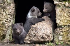 Vallorbe, Switzerland: Three bear cubs called Ben, Yogy and Zora take a walk at the Juraparc of Mont-d'Orzieres.