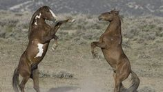 Wild Horses: BLM's Sterilization Studies are Barbaric and Unnecessary