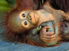 Baby Orangutan, Tanjung Puting National Park, Borneo, Indonesia