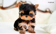 Yorkies are super cute puppies. Check out very cute pictures of baby yorkshire terriers, plus a little history of the Yorkie breed. Cute Little Animals, Cute Funny Animals, Adorable Baby Animals, Funny Dogs, Adorable Dogs, Tiny Puppies, Cute Puppies, Tiny Dog, Small Dogs