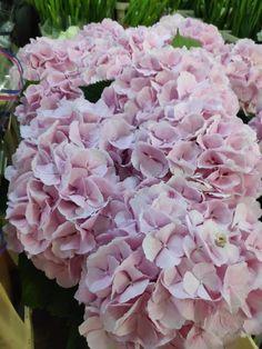 #hortensii #hydrangea #pinkflowewrs #flowers Pink Hydrangea, Rose, Flowers, Plants, Pink, Plant, Roses, Royal Icing Flowers, Flower