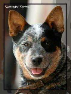 Australian Cattle Dog (ACD) / Vanilegio Close To Me 5 Months/ Allevamento Australian Cattle Dog Vanilegio www.vanilegio.it