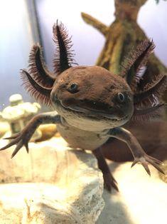 axolotl Toothless