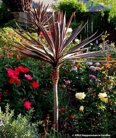 View picture of Cabbage Palm, Cabbage Tree, Ti Kouka, Torbay Palm, Dracaena Spike 'Red Star' (Cordyline australis) at Dave's Garden.  All pictures are contributed by our community.