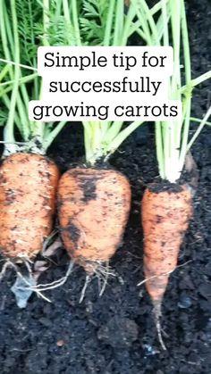 Home Vegetable Garden, Fruit Garden, Edible Garden, Growing Carrots, Growing Vegetables, Gemüseanbau In Kübeln, Garden Solutions, Planting Plan, Organic Gardening Tips