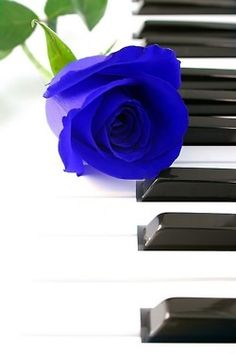 blue rose and piano