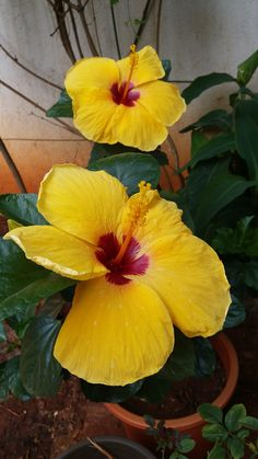 Home Garden. Pune, Flora, Roses, Home And Garden, India, China, Nature, Beauty, Vegetable Gardening