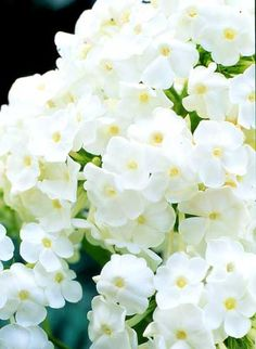 White perennial 23 best images on pinterest in 2018 white david phlox phlox paniculata david is a disease resistant selection with fragrant pure white flowers that grows 4 feet tall mightylinksfo