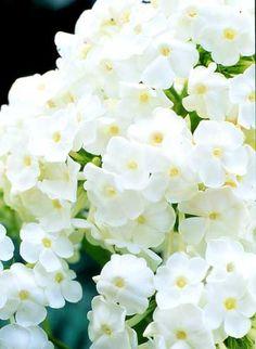 David Phlox: Fragrant, white flowering perennial. One clump in the side yard near the deck.