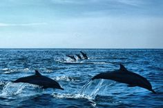 Dolphin Family ,Teluk Kiluan, Lampung, Indonesia.