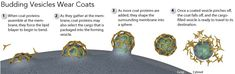 Directing Traffic: How Vesicles Transport Cargo