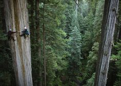 Climbing a 750 year old Sequoia tree