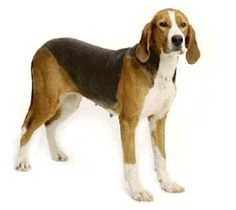 Finnish Hound - What the breed selector suggested.  Sure has a sweet face.
