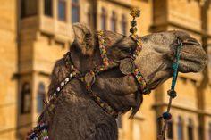 The king of the desert, camel in jaisalmer
