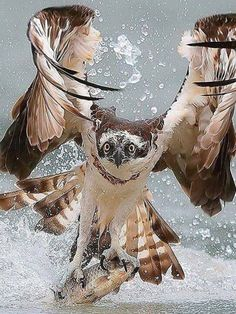 PsBattle: bird of prey hunting a fish Pretty Birds, Beautiful Birds, Animals Beautiful, Animals And Pets, Cute Animals, Tier Fotos, Birds Of Prey, Wild Birds, Bird Feathers