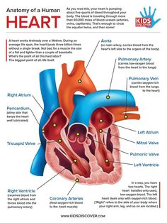 A heart works tirelessly over a lifetime. During an average life span, the heart beats three billion times without a single break. Download this informative one-page lesson sheet detailing the anatomy of the human heart, perfect for any science curriculum or human body lesson. #teachers #science #humanbody