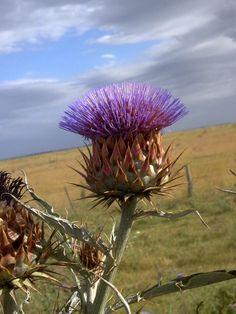 Cardo de las Pampas/ Cardo Flower from the argentin Pampas