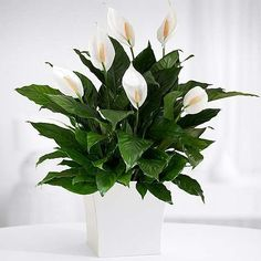 Air Cleaning Plants, Air Plants, Indoor Plants, Potted Plants, Indoor Garden, Peace Lily Indoor, Peace Lily Plant, Peace Lily Care, Peace Lillies