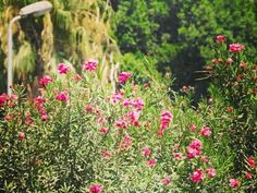 🌸 صباح الورود 🌸 🌸 #Photography 📷 #likeforfollow #likeforlike