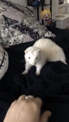 """Very dramatic ferret"" Draco Malfoy Funny Animal Videos, Cute Funny Animals, Cute Baby Animals, Funny Cute, Animals And Pets, Baby Ferrets, Funny Ferrets, Ferret Cage, Pet Ferret"