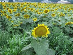 This site presents a complete wallpaper nifty images, presented to you seekers of information about wallpapers images. Sunflower Garden, Sunflower Seeds, Yellow Flowers, Wild Flowers, Mammoth Sunflower, Fresh Image, Annual Flowers, Wildflower Seeds, Garden Styles