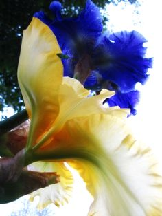 my favorite iris!! <3