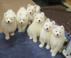 Samoyed puppy gang