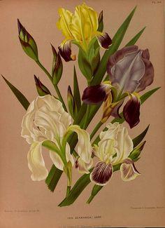 165455 Iris germanica L. var. hort. / Eeden, A.C. van, Album van Eeden, Haarlem's flora, afbeeldingen in kleurendruk van verschillende bol- en knolgewassen, p. 67, t. 89 (1872-1881)
