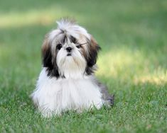 One of the most famous lap dogs around, the Shih Tzu is a forever faithful companion. Description from petguide.com. I searched for this on bing.com/images