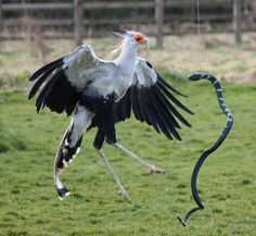 secretarybird, as large as four feet tall, five feet long and a wingspan up to seven feet & eats venomous snakes (africa)