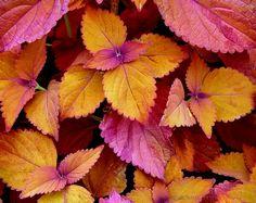 Google Image Result for http://loghouseplants.com/plants/wp-content/uploads/2012/02/Coleus_Honeycrisp.jpg