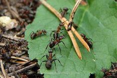Надежное средство от муравьев