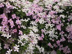 Clematis Bosrank klimplant 2 kleuren gebruiken