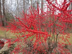 winterberry bush -perfect for the berries produced during the Christmas season and to add color to the winter garden.