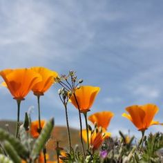 Antelope Valley California Poppy Reserve - Lancaster, CA, United States  March and April is poppy season
