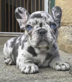 The major breeds of bulldogs are English bulldog, American bulldog, and French bulldog. The bulldog has a broad shoulder which matches with the head. Super Cute Puppies, Baby Animals Super Cute, Cute Baby Dogs, Cute Little Puppies, Cute Dogs And Puppies, Cute Little Animals, Cute Funny Animals, Doggies, Baby Pugs