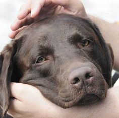 I am so infatuated with Labs....mine is a chocolate!!!