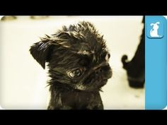 Pug Puppies Get a Bath, and Everythings Gonna Be Alright