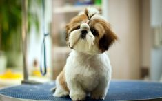 """Discover additional relevant information on """"shih tzus pup""""x. Check out our site. Chien Shih Tzu, Perro Shih Tzu, Shih Tzu Puppy, Shih Tzus, Pet Dogs, Dog Cat, Pets, Doggies, Lion Dog"""