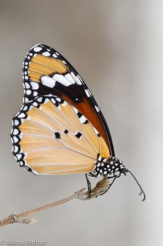 ༺ ʚįɞ Beautiful ༻ :: Tiger Butterfly