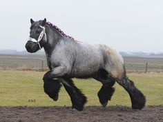Image detail for -Draft Horse Village :: View topic - Brabant stallions