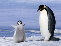 ほんとだって!今飛べたんだって!! : ペンギン画像にコメントつけたら可愛すぎw【画像集】 - NAVER まとめ