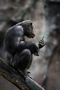 Chimpanzee | Flickr - Photo Sharing!