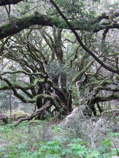 Dancing Trees, Muir Woods